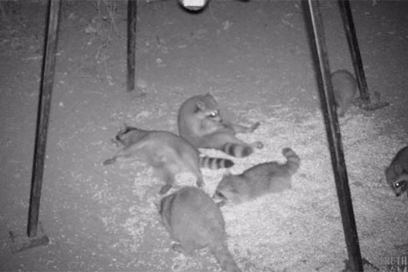 Raccoon Party