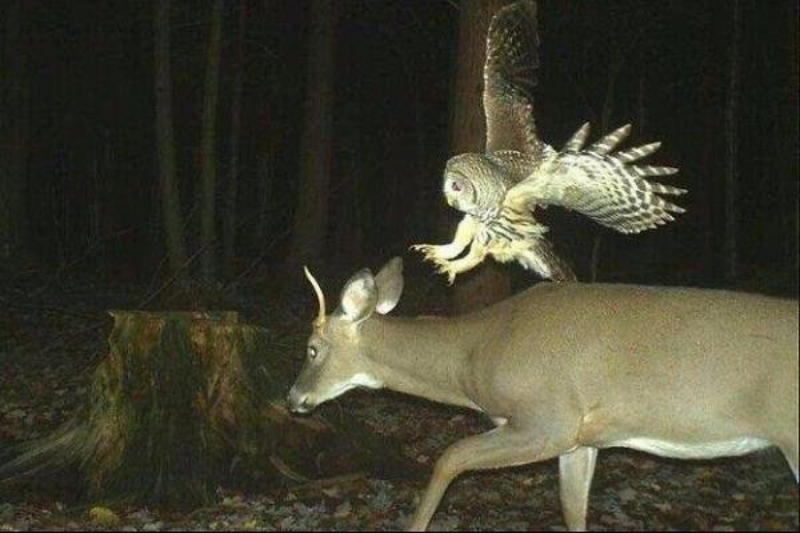 Owl Strike